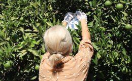 Akdeniz meyve sineğine karşı biyoteknik uğraş veriliyor
